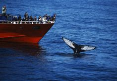 Google Image Result for http://icelandictimes.is/files/image/Whale_watching_in_Iceland_Elding_Humpback1.jpg