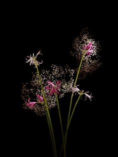 Flowerworks: Flowers Arranged and Photographed to Look Like Fireworks by Sarah Illenberger