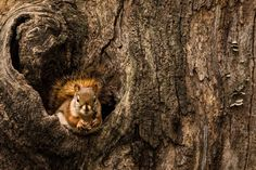 Red Squirrel.jpg | by robertbriggs2