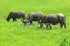 Asian buffalos (Bubalus bubalis) in opened farmland. Photo Library, Buffalo, Asian, Stock Photos, Illustration, Animals, Image, Water Buffalo, Animales