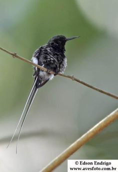 The Black-bellied Thorntail Hummingbird  (Discosura langsdorffi) are small slow flying birds that gather in the canopy with other hummingbirds to forage & sometimes steal nectar. During courtship displays, males impress females by fanning out their long tails as they zoom from side to side. This behavior is accompanied by a loud cracking sound given by the male. males have a narrow rufous band separating the green gorget and black chest.