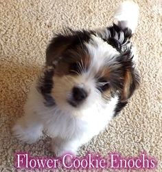 Flower Cookie Enochs, My new long tail parti yorkie :)