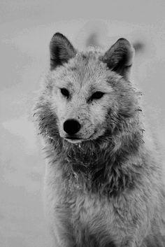 .Grey wolf