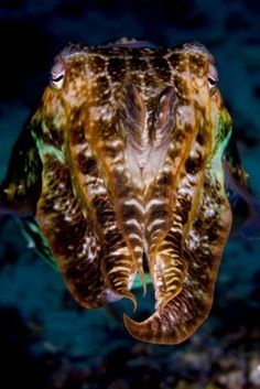 Cuttlefish (cephalopod) Looking Into Camera With Tentacles Raised...