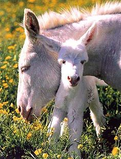 Races d'ânes l'âne blanc de Sardaigne