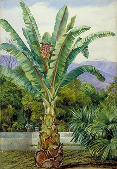 Painting 516  Abyssinian Ensete in a garden in Teneriffe  Location: Tenerife  Plants: Ensete, Musa Ensete