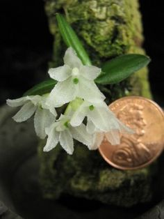 Shade Garden Flowers And Decor Ideas One Of The Smallest Orchids In The World The Java Hymenorchis Javanica Photo From Peter T. Unusual Plants, Cool Plants, Air Plants, Miniature Orchids, Miniature Plants, Mini Orquideas, Plante Carnivore, Minis, Paludarium