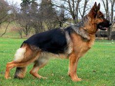 New York German Shepherd Breeder with Puppies for Sale ...