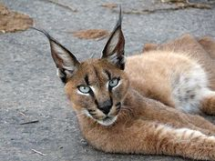 Unusual Wild Cat Is Called A 'Caracal' And Is Considered The Cutest Animal On Earth