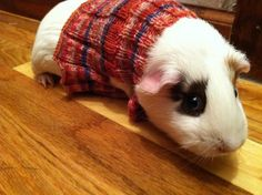 Between hens and penguins, it's no doubt that we are suckers for cute animals in even cuter hand knit sweaters. These sweet little guinea pigs were featured on Cute Overload, sporting the handiwork...