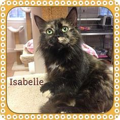 Atco, NJ - Domestic Longhair. Meet Isabelle, a cat for adoption. http://www.adoptapet.com/pet/12850741-atco-new-jersey-cat