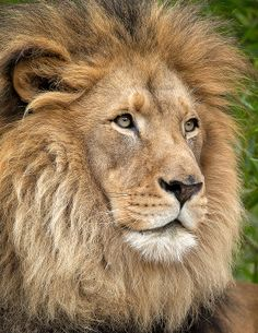 Doesn't get more regal than our big man, M'bari. #lion