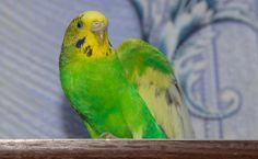Budgerigar parrot walking on the flat. Parakeets, Cockatiel, Monk Parakeet, Bird Food, Bird Cages, Habitats, Parrot, Walking, Flat