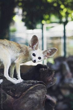 Fennec Fox by Jovana Rikalo | Stocksy United