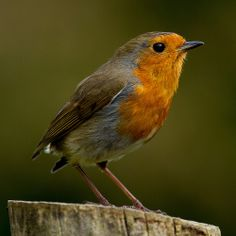 Robin Redbreast   Flickr - Photo Sharing!