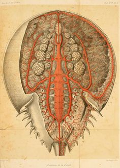 Arterial system of the horseshoe crab from Milne-Edwards's Recherches sur l'anatomie des Limules ID: Sea Spider, Crab Tattoo, Horseshoe Crab, Jellyfish Art, Historia Natural, Indie Art, John James Audubon, Dictionary Art, Animal Anatomy