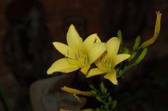Night blooming Daylily