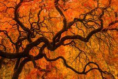 Arterial by nature photographer Henrik Anker Bjerregaard  Lundh III on 500px  - Japenese Maple tree, Portland, OR.