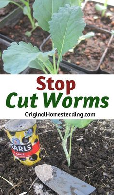 STOP CUT WORMS.learn to control and stop cut worms in one easy step. Cut worms can cause tremendous damage to young seedlings. Many times, you will not realize you have a problem until the damage has already been done. Learn how to safely and easily Gardening For Beginners, Gardening Tips, Growing Tomatoes, Baby Tomatoes, Dried Tomatoes, Garden Pests, Potager Garden, Organic Gardening, Vegetable Gardening