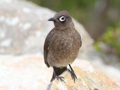 File:Cape Bulbul - Wikipedia, the free encyclopedia Garden Birds, Whistler, South Africa, Google Search, Birds