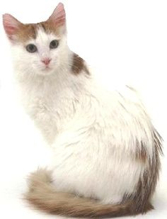 denominazione colori gatti a pelo lungo :)