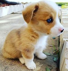 Look at this baby Corgi! Discover your best Corgi equipment only at Corgilover. Baby Corgi, Corgi Dog, Corgi Pembroke, Kittens And Puppies, Cute Dogs And Puppies, Puppy Pictures, Dog Photos, Animals And Pets, Baby Animals