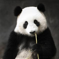 panda... #pandas #pandalovers #animals