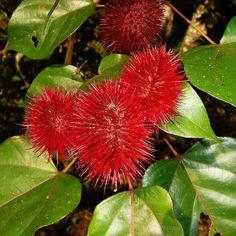 Red Fruit,  Achiote, Bixa orellana by Diana B., via Flickr