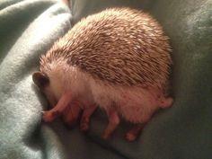 I don't wanna get outta bed. Hedgehog Care, Pygmy Hedgehog, Baby Hedgehog, Funny Animal Memes, Funny Animals, Cute Animals, Beautiful Creatures, Animals Beautiful, O Castor