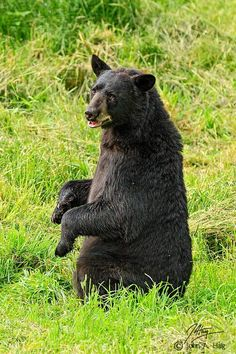 Bear Playing Invisible Piano Animal Antics, Black Bear, Adorable Animals, Beautiful Things, Piano, Bears, Handsome, Creatures, Nature