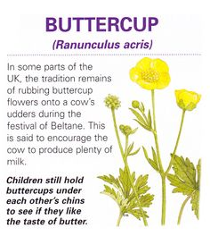 Magical flowers buttercup