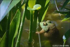 Save the Frogs Day | 28 Apr  Blooming flowers are one of the most common visual signs that Spring is returning to the US Mainland. Audio clues come from many animal sources, including the Green Frog – Rana clamitans melanota – seen and heard in the weeds of a backyard pond...