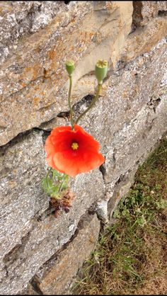 Poppy growing in a crack in the wall, Holy Island
