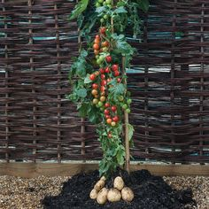 TomTato® (Ketchup 'n' Fries™, Ketchup and Chips) - All Vegetable Plants - Thompson & Morgan