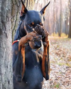 Cute Funny Animals, Cute Dogs, Scary Dogs, Doberman Love, Doberman Pinscher Dog, Working Dogs, Beautiful Dogs, Best Dogs, Baby Animals