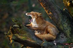 Red Fox by photo-sommer on 500px