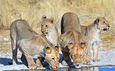 is foremost game reserves and home to hundreds of species of wild Animal, birds and reptiles making it the perfect safari destination. National Park Camping, National Parks, Thirsty Lion, Safari, Lion Poster, Game Reserve, Reptiles, Lions, Panther