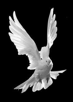 Birds ©: A Dove in Flight! Background Images For Editing, Light Background Images, Background Pictures, Dove Pictures, Jesus Pictures, Beautiful Birds, Animals Beautiful, White Pigeon, Dove Pigeon