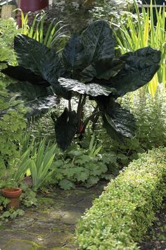 Upright Black Elephant Ear (colocasia esculenta).  This spectacular plant will grow as a perennial in warmer climes.  Its dusty solid purple-black leaves grow up to 2 feet  long. Black Magic grows to a giant clump up to 5-6 feet tall with an equally wide spread. It Prefers sun to partial shade.