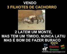 Diário de um Gaúcho Grosso: FILHOTES DE CACHORRO DE GAÚCHO GROSSO
