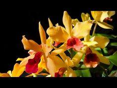 Amikor az orchidea már megnőtt, gyökerei teljesen kitöltik a cserepet, vagy az ültetőközeg állapota romlott le, akkor elkerülhetetlenné válik, hogy átültessük a növényt. Ezzel a művelettel igazán jót teszünk vele, hisz az új jó víz és légáteresztő, tápanyagban gazdag, közegben sokkal szebben tud növekedni és virágozni. A cserepes orchidea átültetése igazán nem nagy ördöngösség, kis …