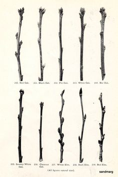 1925 Tree Branches and Buds