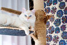 Haru, my little Siberian Neva Masquerade 10 months. <3    #cat #cats #whitecat #blueeyes #siberiancat #nevamasquerade
