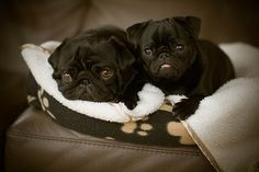 """I couldn't live with myself if I scrolled by these little black pugs without pinning them.  The little pink tongue is what clinched it - I call my pug's tongue a """"bubblegum"""" tongue.  She never shows it unless she's panting."""