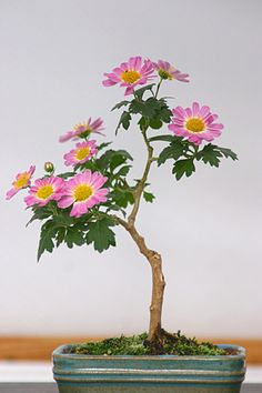 ~~bonsai ~ pink daisy in bloom by Yumi *~~