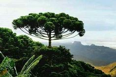 The Araucaria tree (Brazilian pine) is a conifer species native to the southern Brazil. Evergreen tree growing tall and can have a trunk diameter.Leaves are thick and tough with razor sharp edges. Seeds called pinhão are a popular winter snack in Brazil. Bonsai, Weird Trees, Dame Nature, Unique Trees, Evergreen Trees, Nature Tree, Tree Forest, Growing Tree, Tree Art
