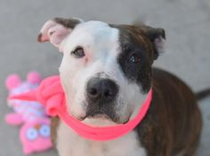 URGENT - DOTTY - ID#A1023568- NYC ACC- I am an unaltered female, brown brindle and white Pit Bull Terrier mix. The shelter staff think I am about 5 years old. I weigh 55 pounds. I was found in NY 11216. I have been at the shelter since Dec 19, 2014. http://www.petharbor.com/pet.asp?uaid=NWYK1.A1023568