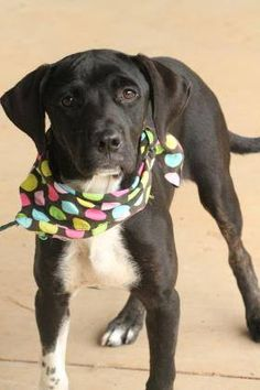 ADOPTED>NAME: Storm  ANIMAL ID: 31992097  BREED: Retriever  SEX: female  EST. AGE: 6 mos  Est Weight: 32 lbs  Health: Heartworm neg  Temperament: dog friendly, people friendly  ADDITIONAL INFO: RESCUE PULL FEE: $35  Intake date: 6/24  Available: 7/2