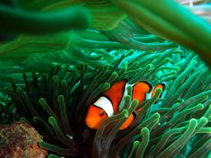 Bucket List! Scuba Diving Phuket PP: Scuba Diving Koh Phi Phi Western Clownfish