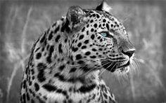 Cheetah Face HD Wide Wallpaper for Widescreen Wallpapers) – HD Wallpapers Leopard Wallpaper, Animal Wallpaper, Pumas, I Love Cats, Big Cats, Jaguar, Cheetah Face, Tier Wallpaper, Amur Leopard
